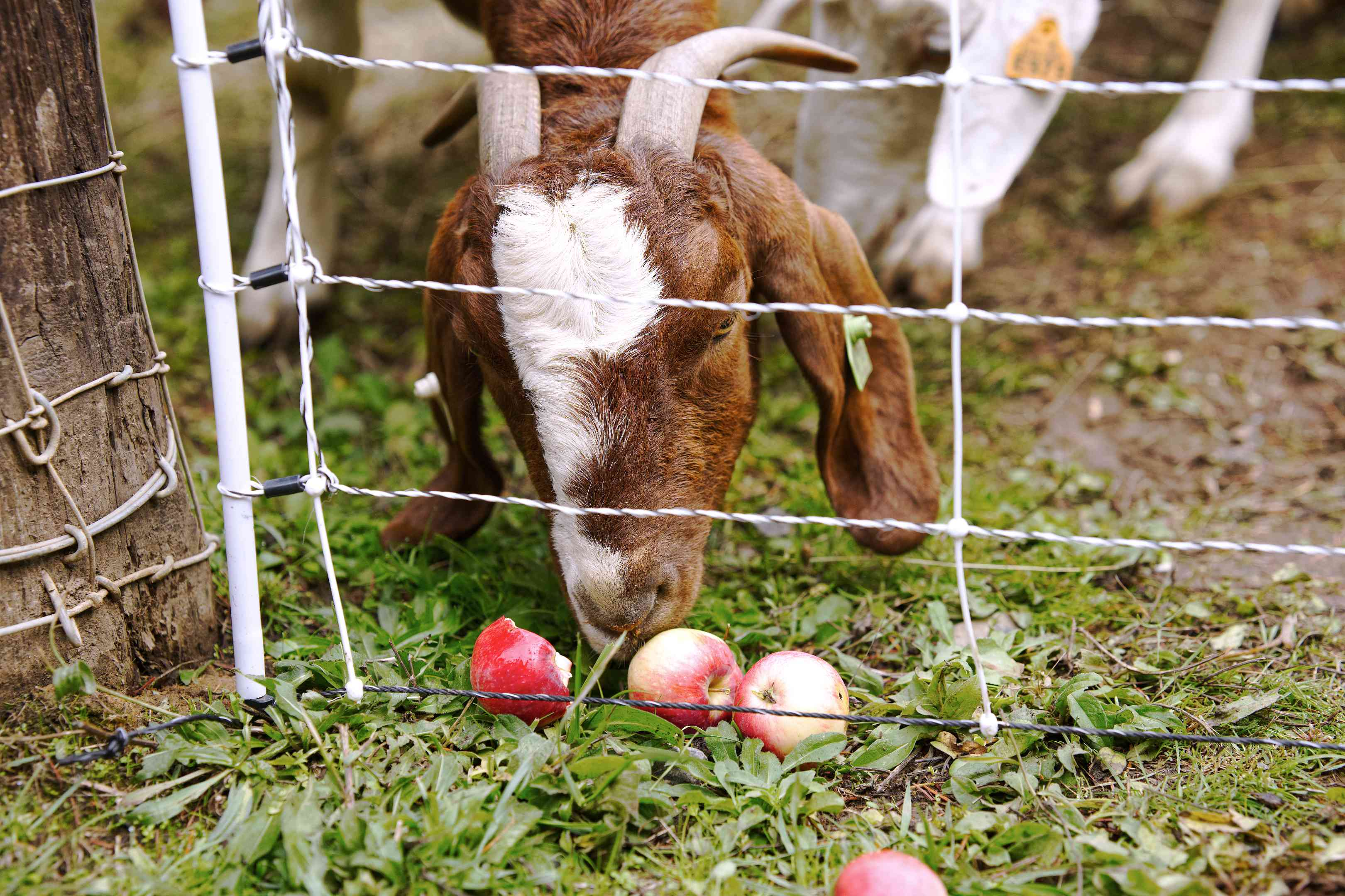brown goat with horns eats loose pink apples on ground near wire fence
