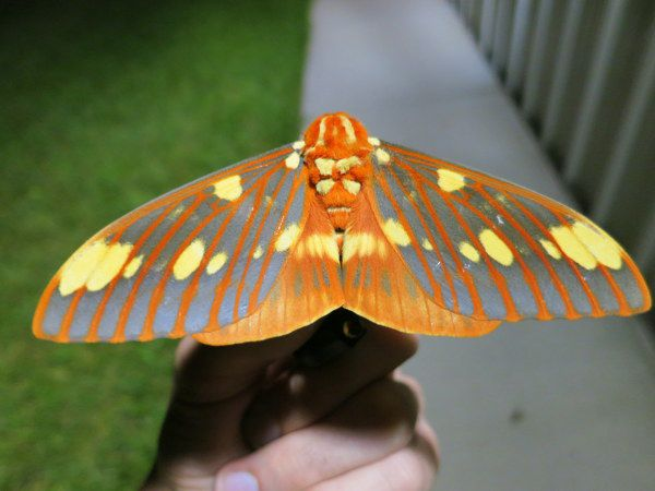 an orange, yellow, and blue striped regal moth on a human hand