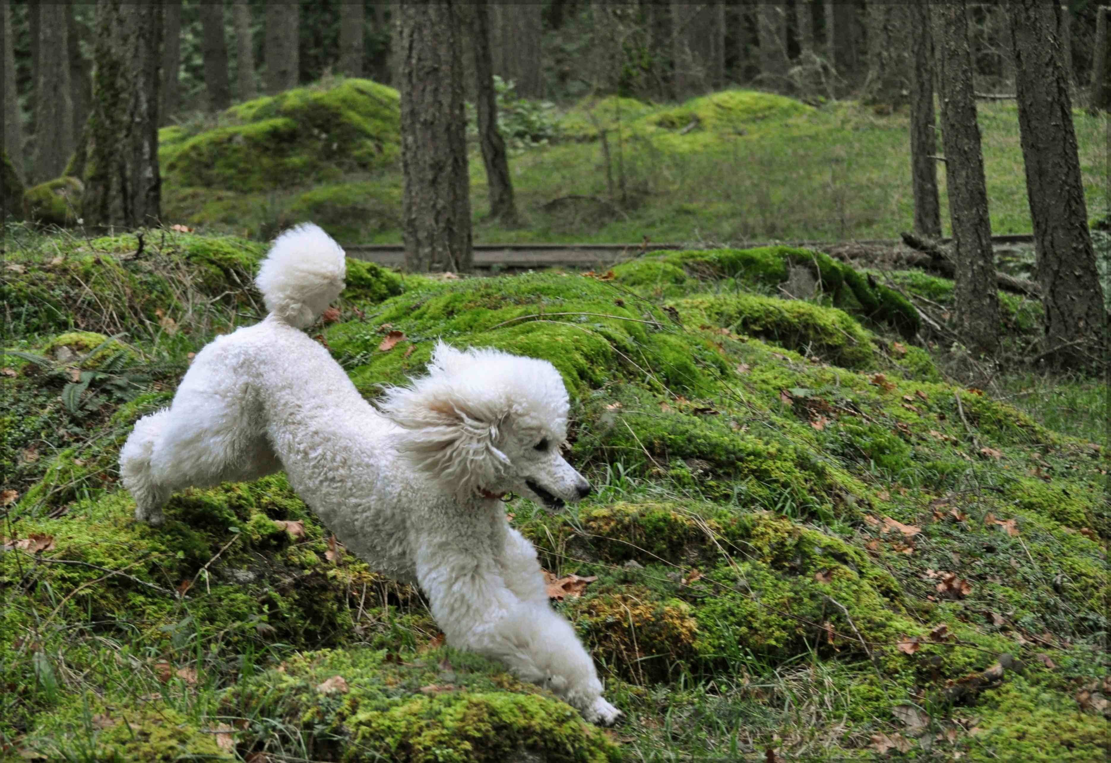 A poodle running in a mossy forest.