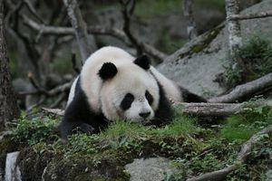 Giant pandas have very specific habitat preferences.