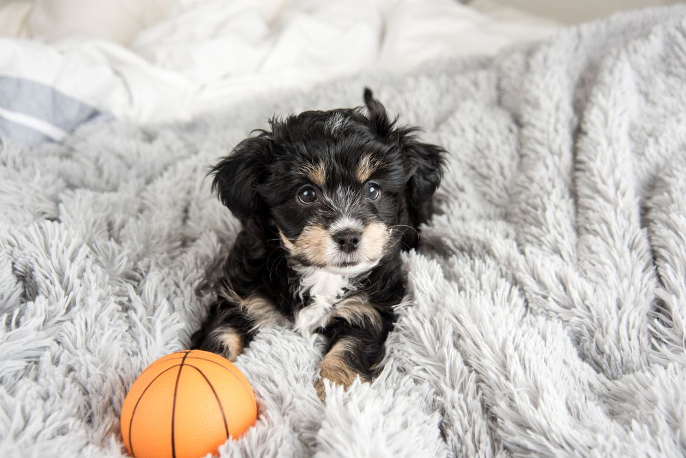 tiny puppy with toy ball on top of the bed