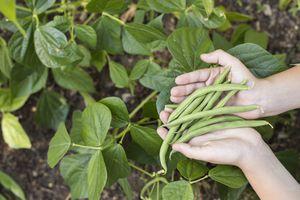 Hands holding freshly picked green beans above a green bean garden.