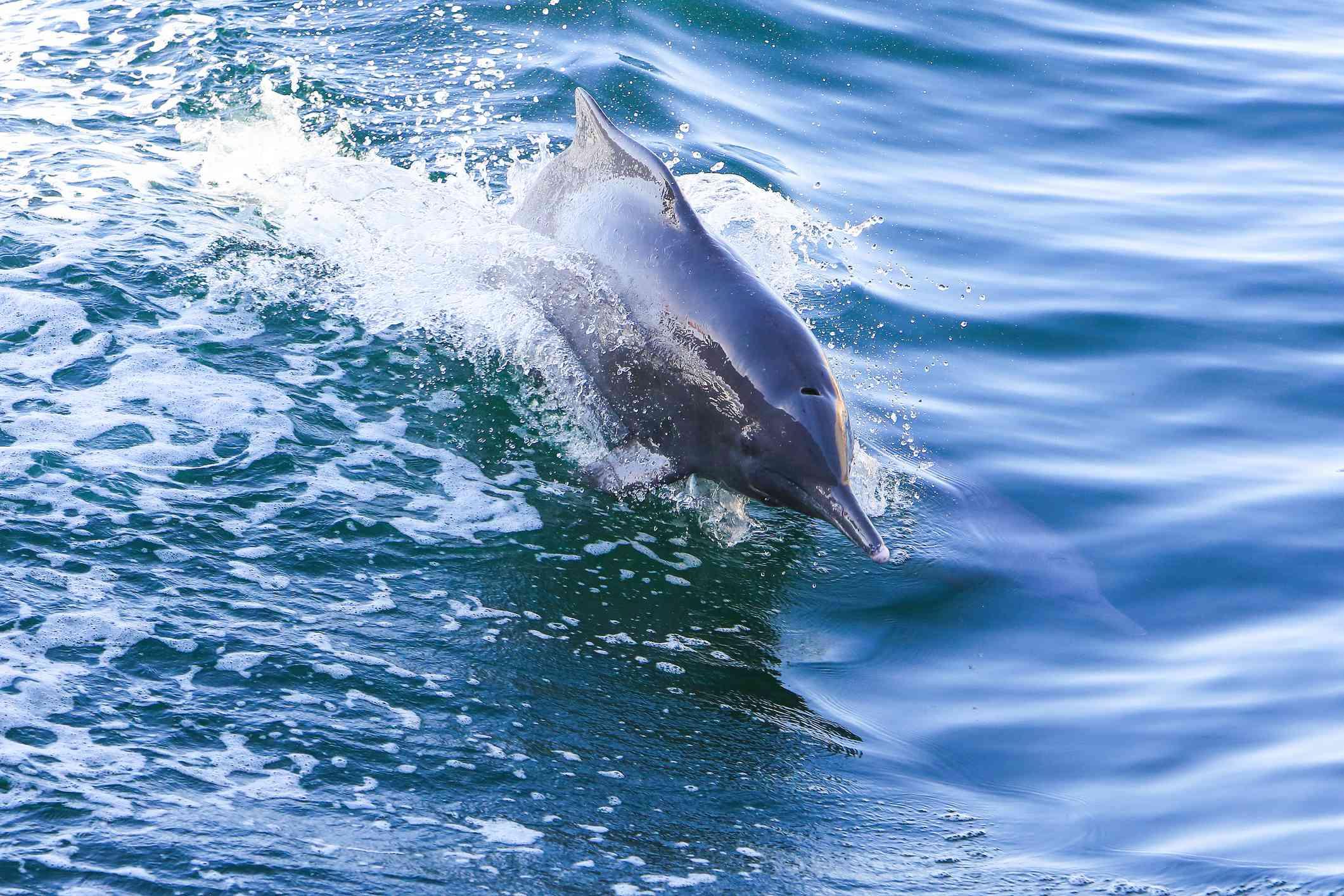 An Indo-Pacific humpback dolphin in Musandam Peninsula, Strait of Hormuz, Oman