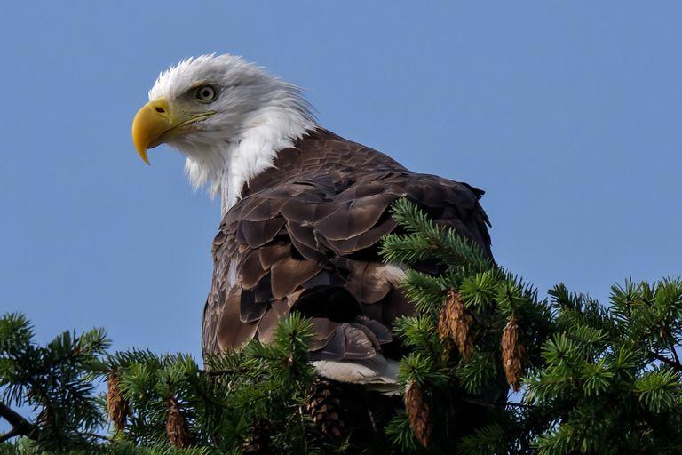 Hood Canal Bald Eagle