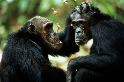 Common chimpanzees grooming each other