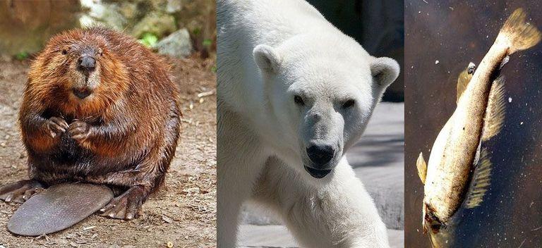 ¿Qué animal representa mejor a Canadá? (Encuesta)