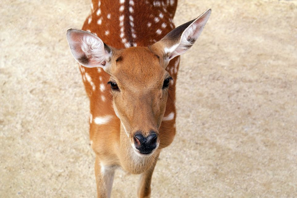 deer with spots looking up