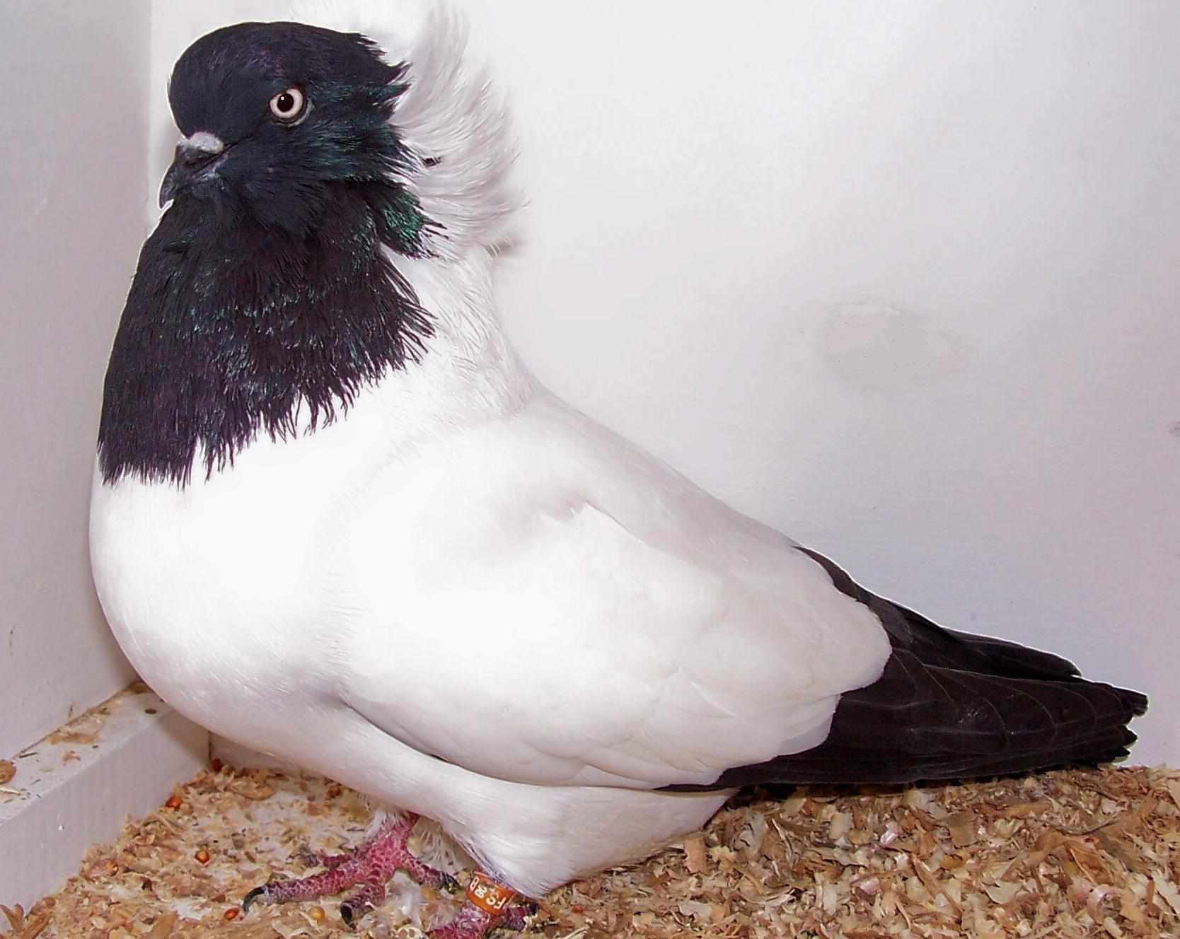 Nun pigeon standing against a wall on sawdust