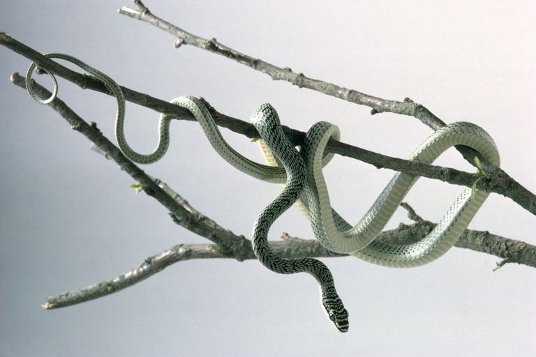 Flying snake with white underside and green grey strips on top
