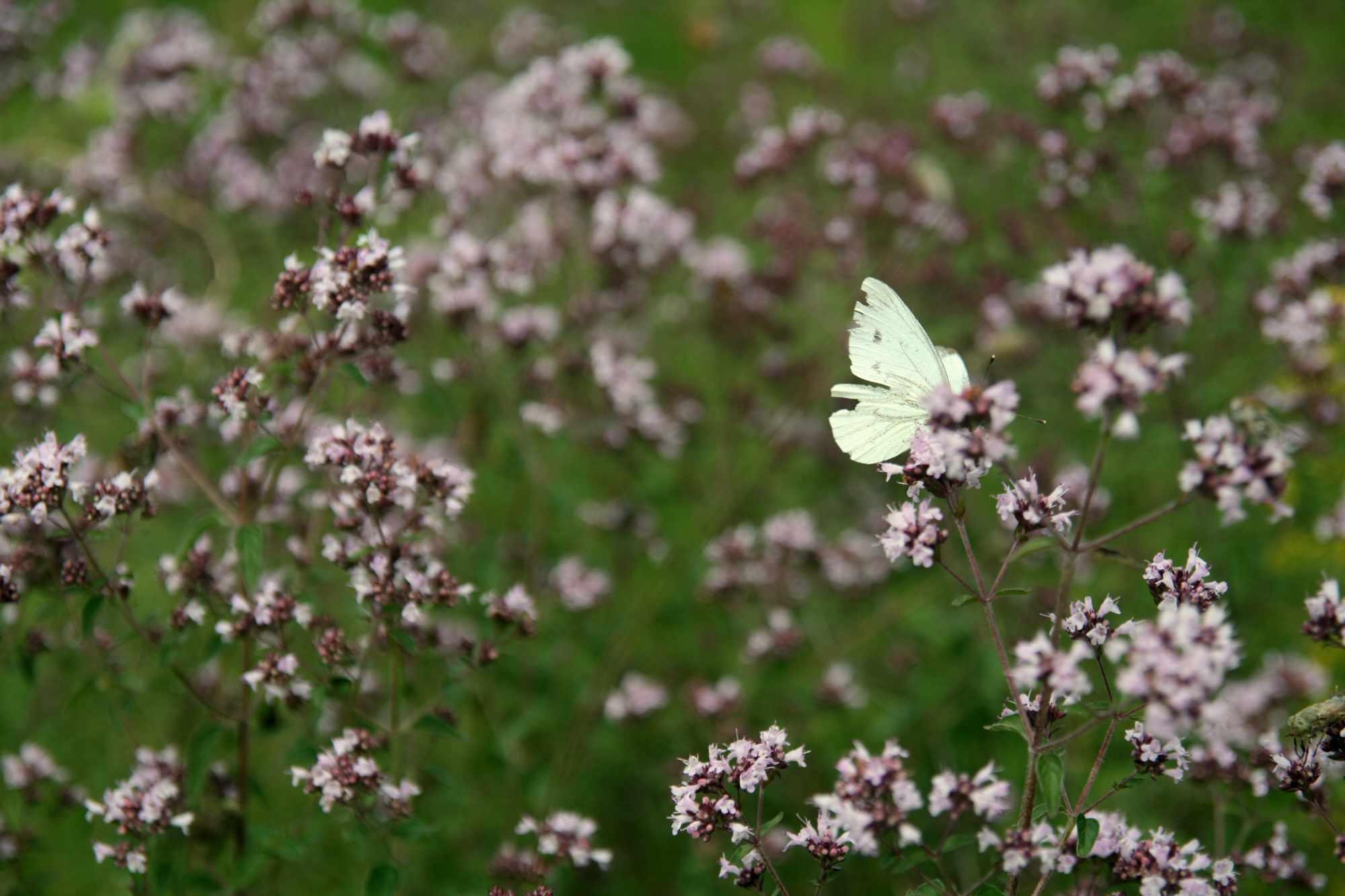 light yellow butterfly rests in field of pale pink-purple flowers