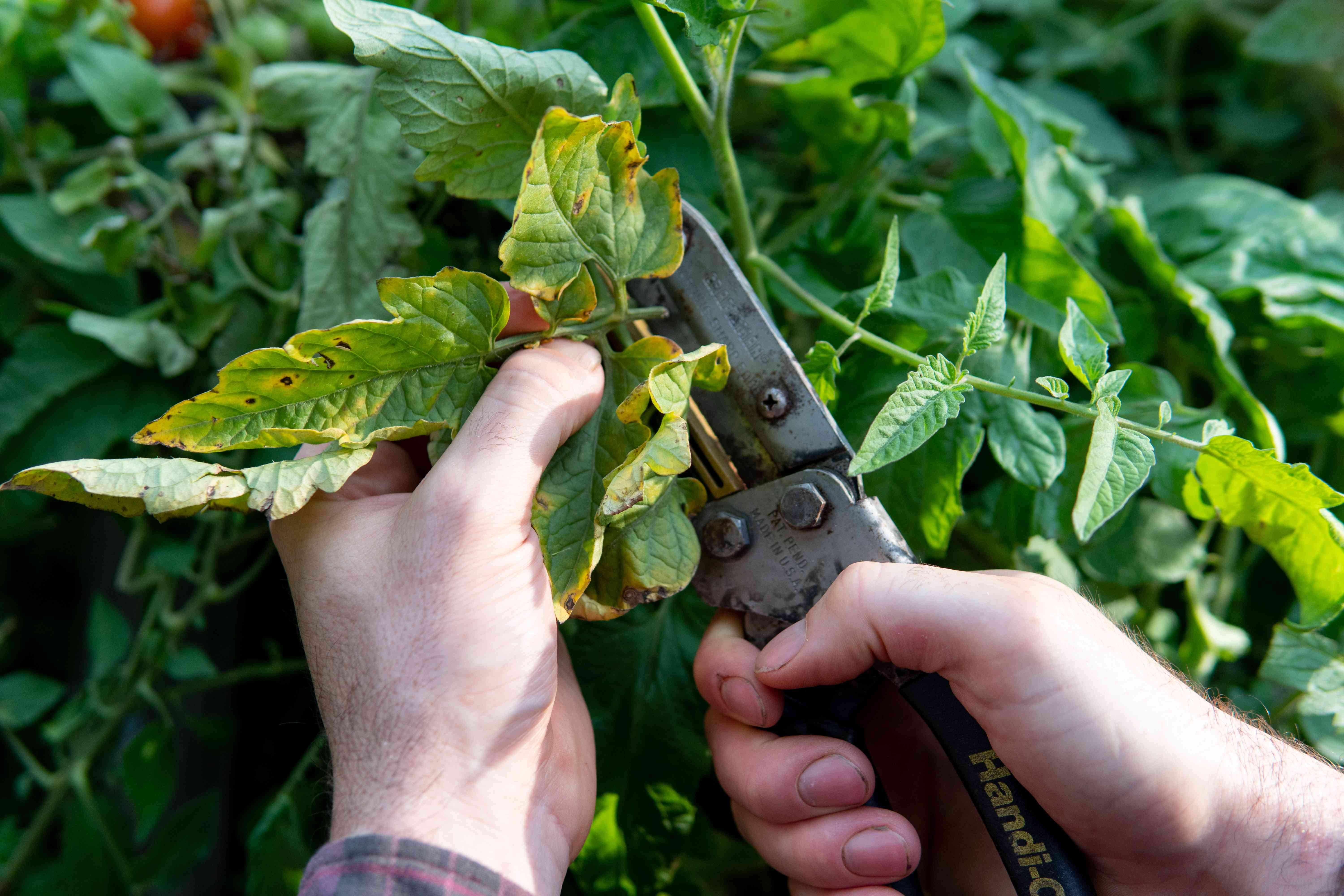 two hands cut plants with metal tool
