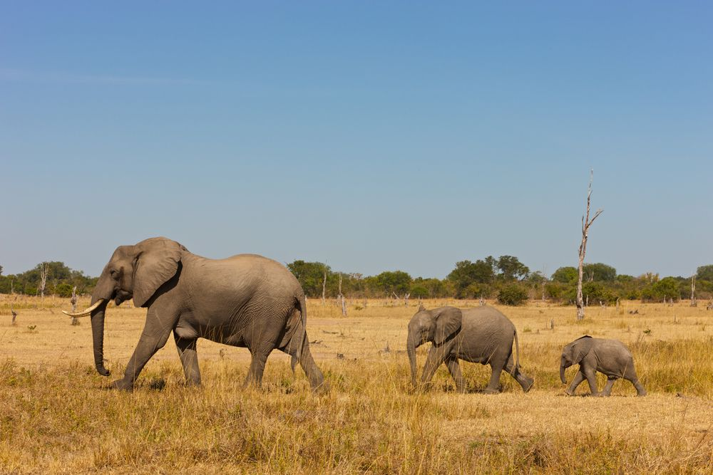 A mother elephant and her two children walking