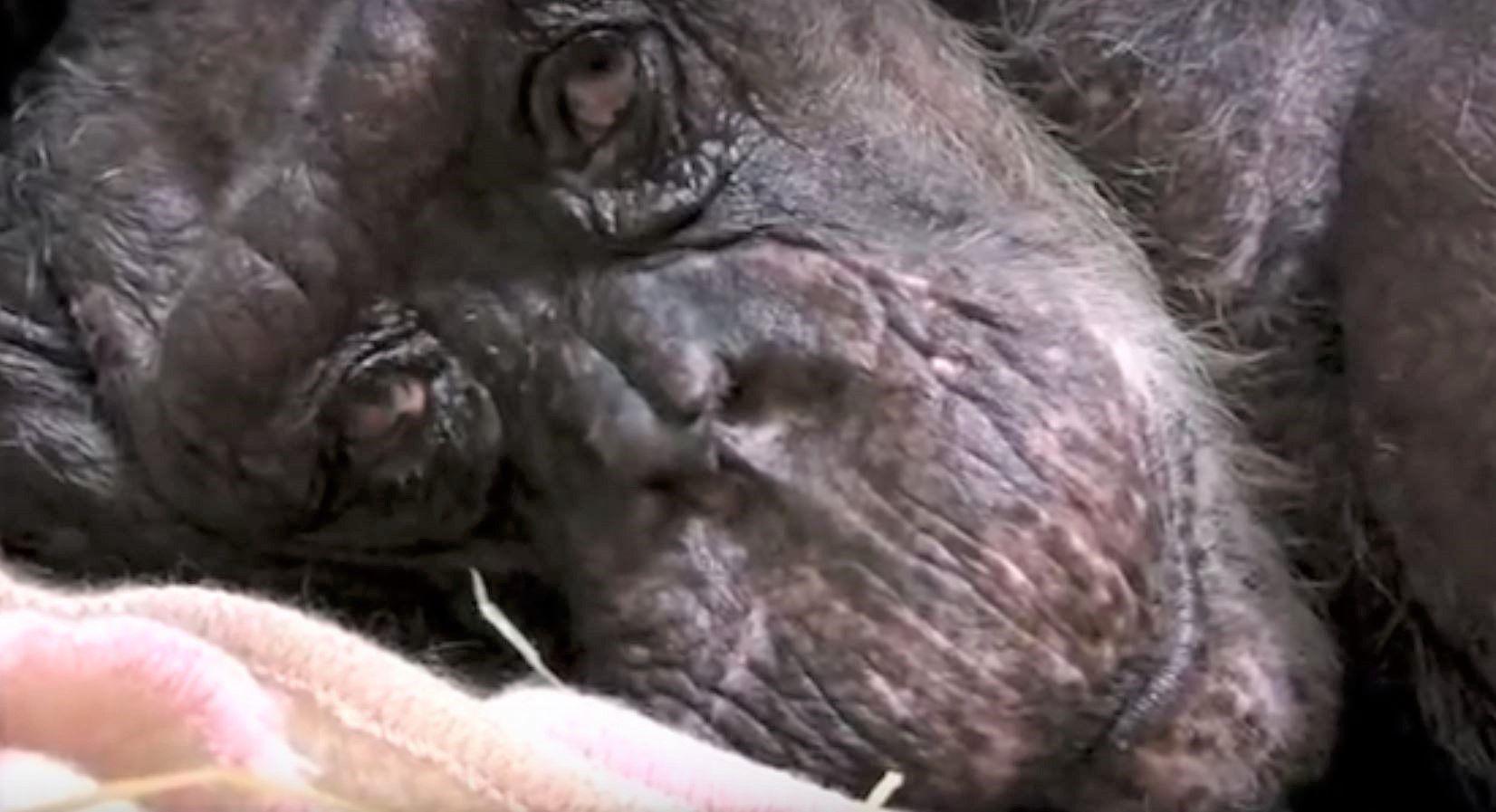 Closeup of chimpanzee's face