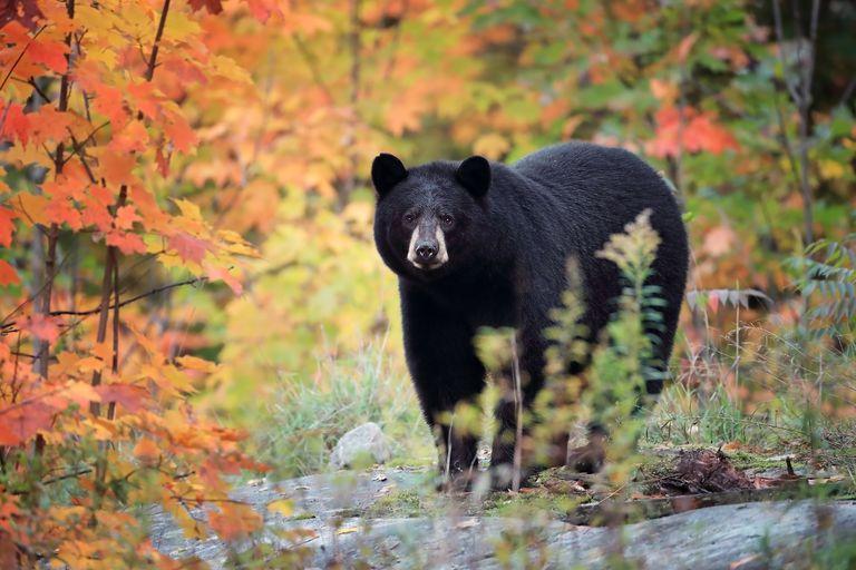 American black bear standing near a stream among fall foliage
