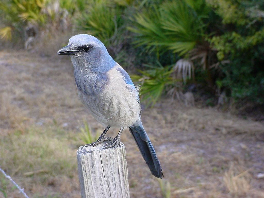 A Florida scrub-jay standing on a post with palm trees behind it.