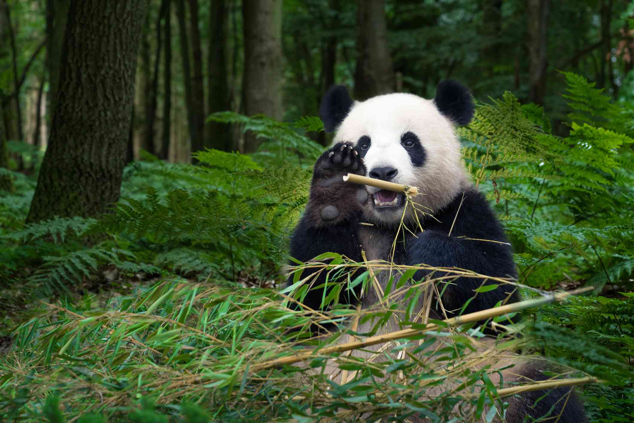 panda sits in forest holding bamboo with one paw open to face camera