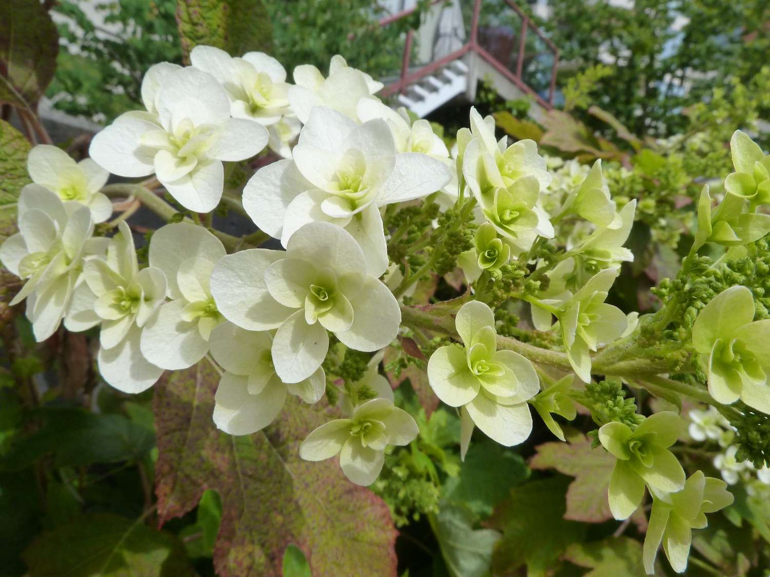 A cluster of white-petaled hydrangeas