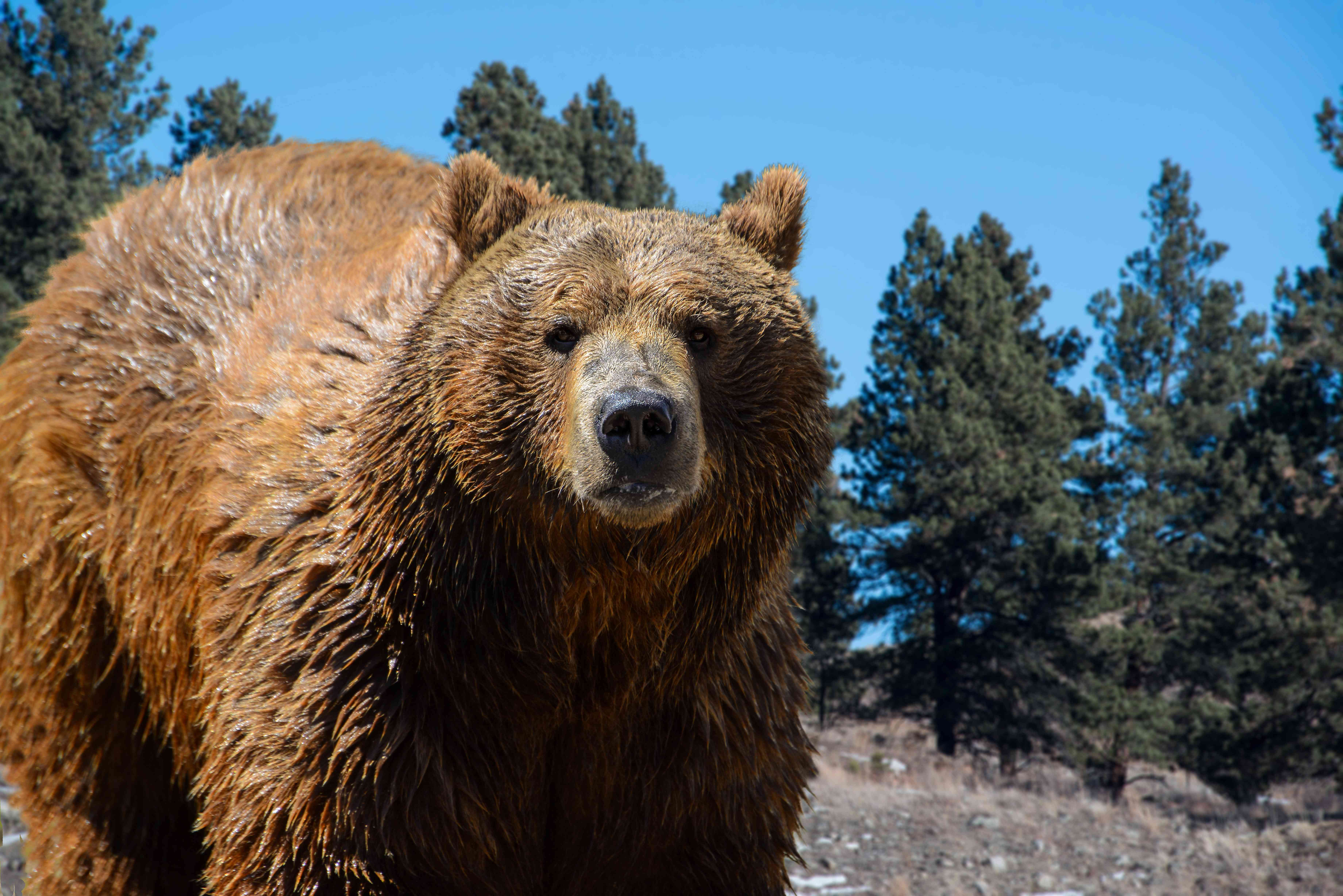 Grizzly bear closeup in pine forest mountains