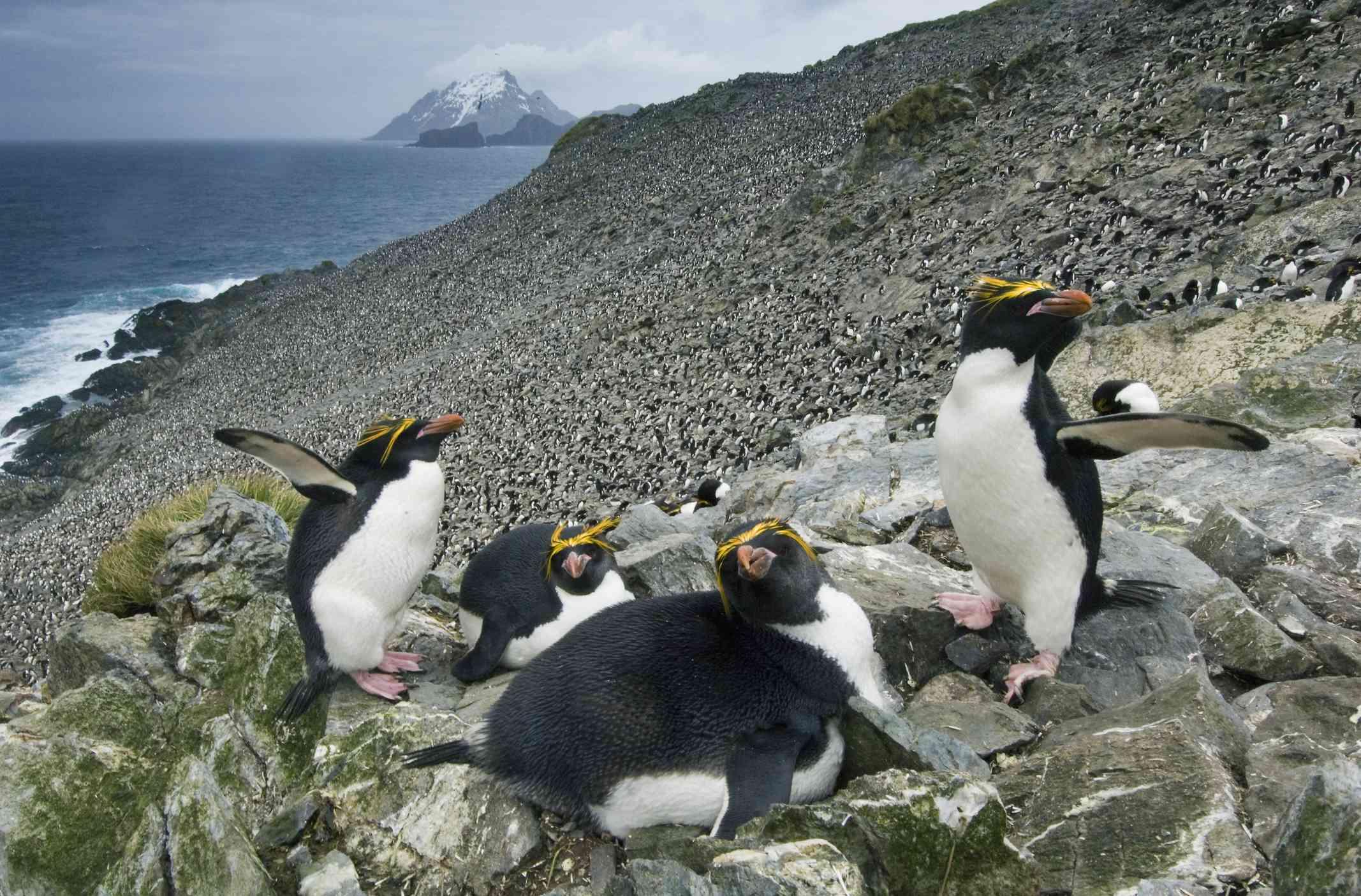 Four macaroni penguins on a rocky coastline