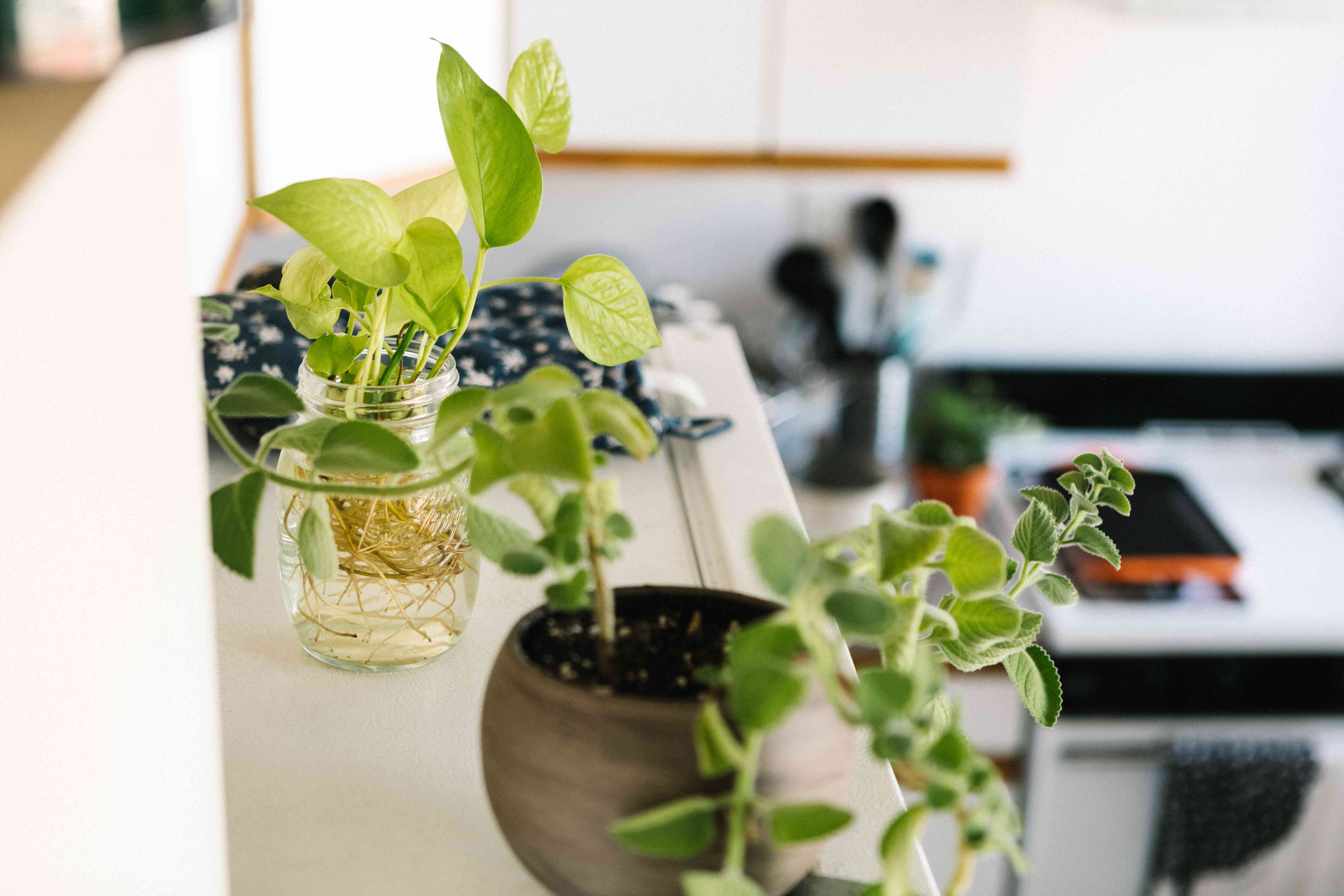 golden pothos cutting in glass jar in the kitchen