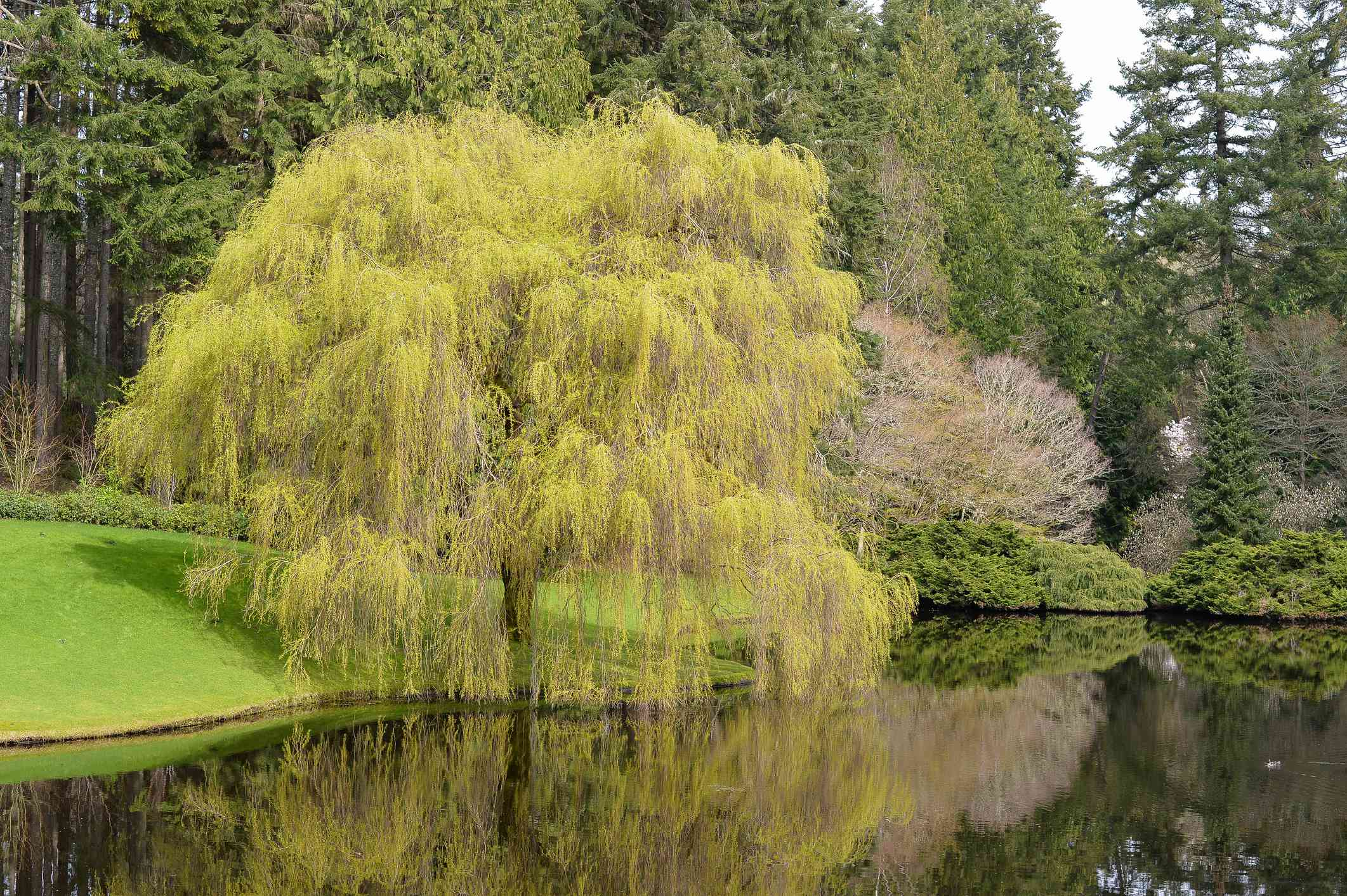 Weeping willow tree next to a lake