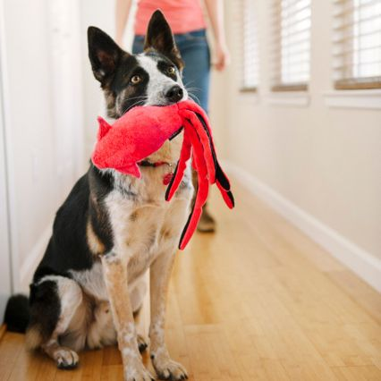 dog holding red and black toy in its mouth in a hallway