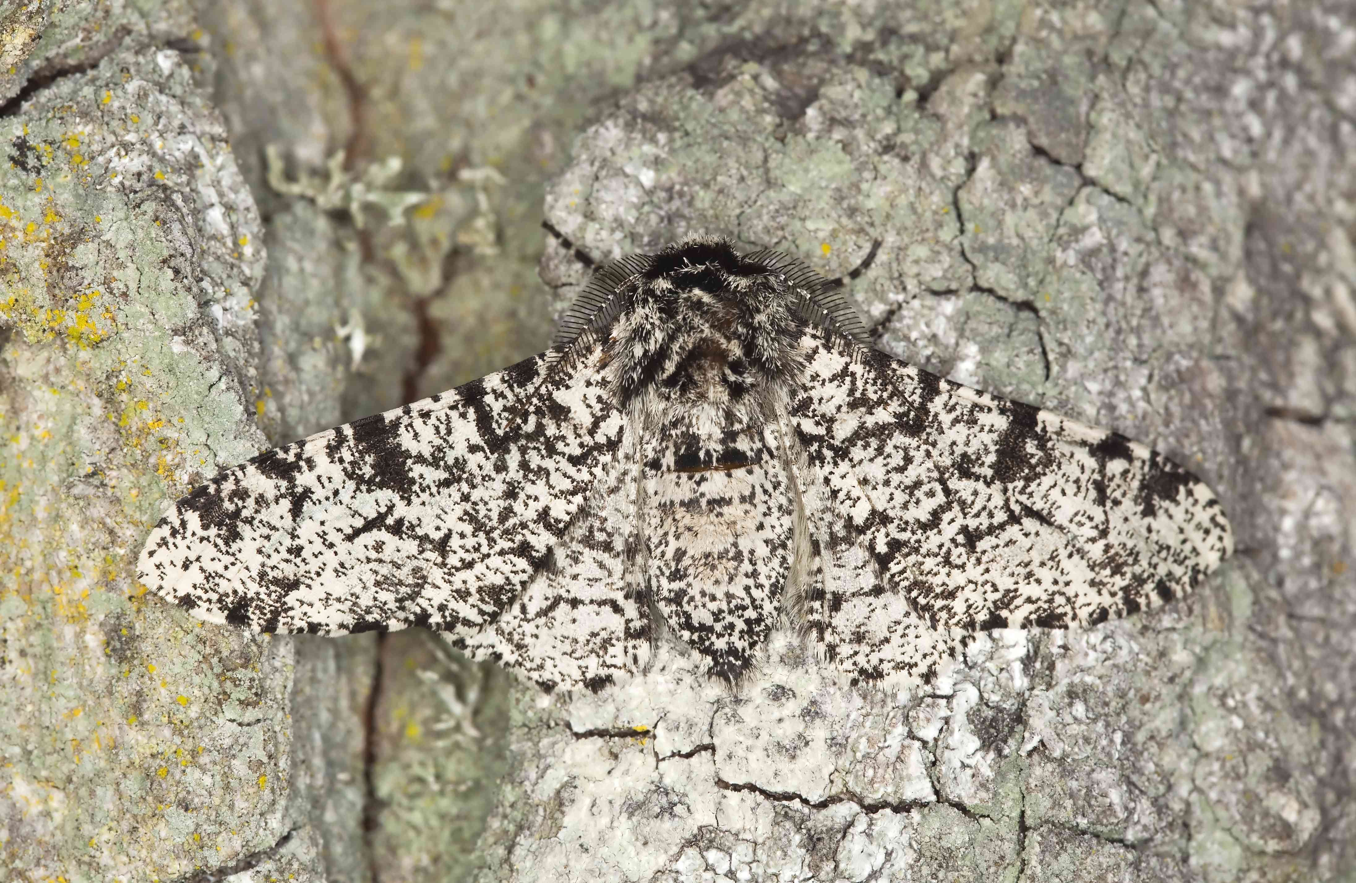 Peppered moth (Biston betularia) camouflaged on oak Macro photo.