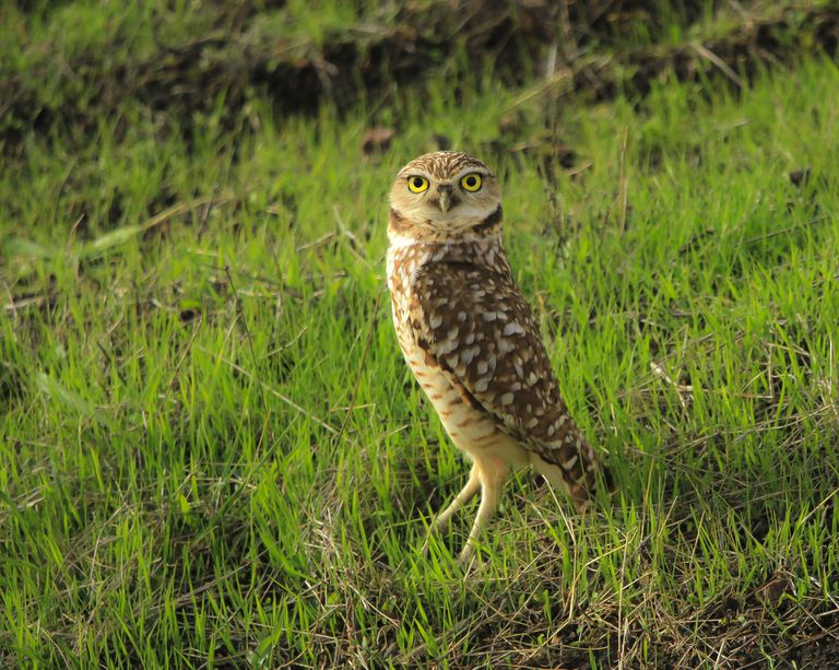 Owl standing in grass staring at the camera