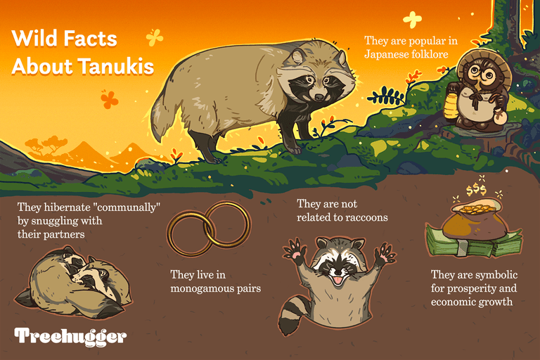 wild facts about tanukis