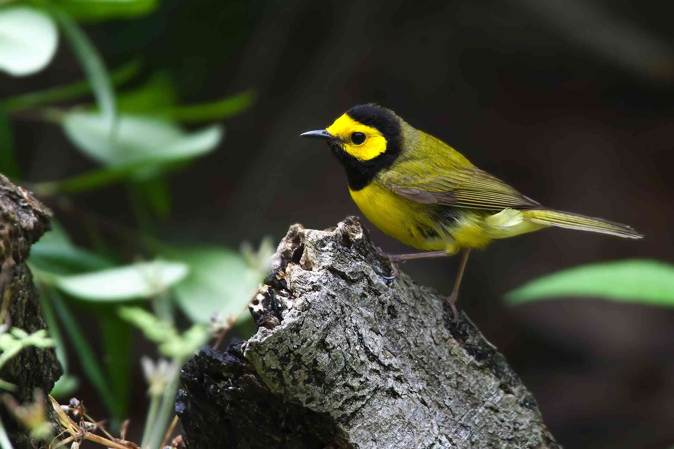 Hooded warbler perching on piece of bark