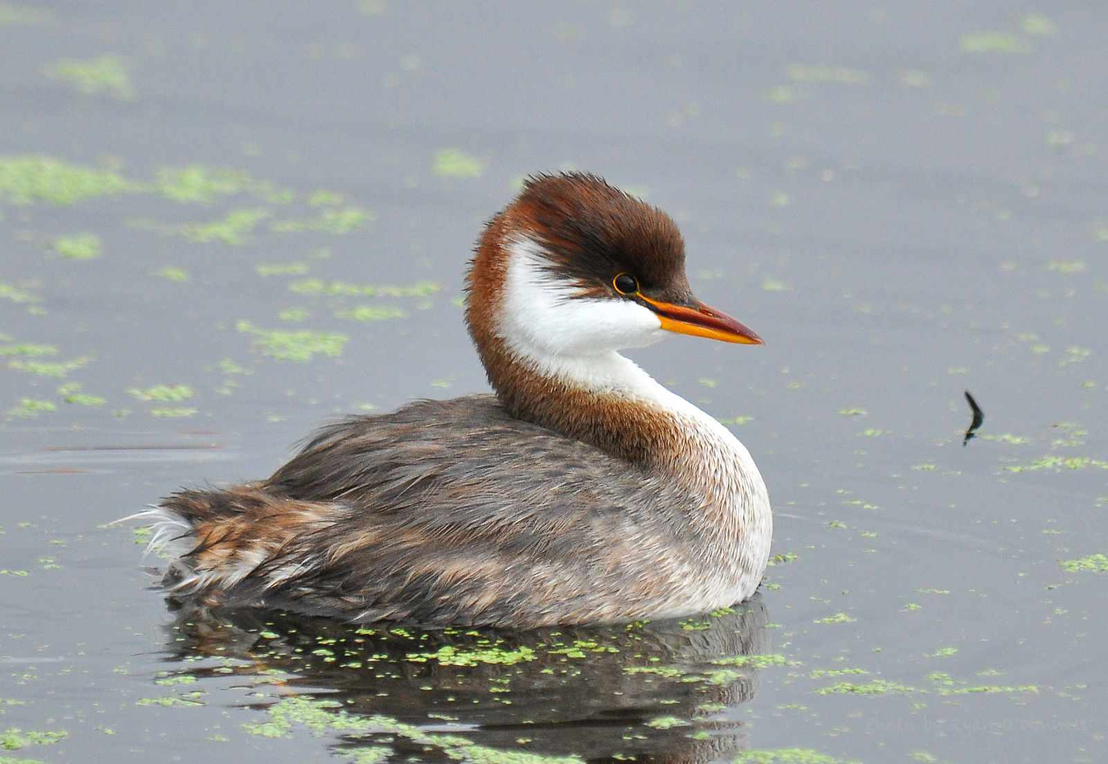 cute brown and white titicaca grebe swims in water