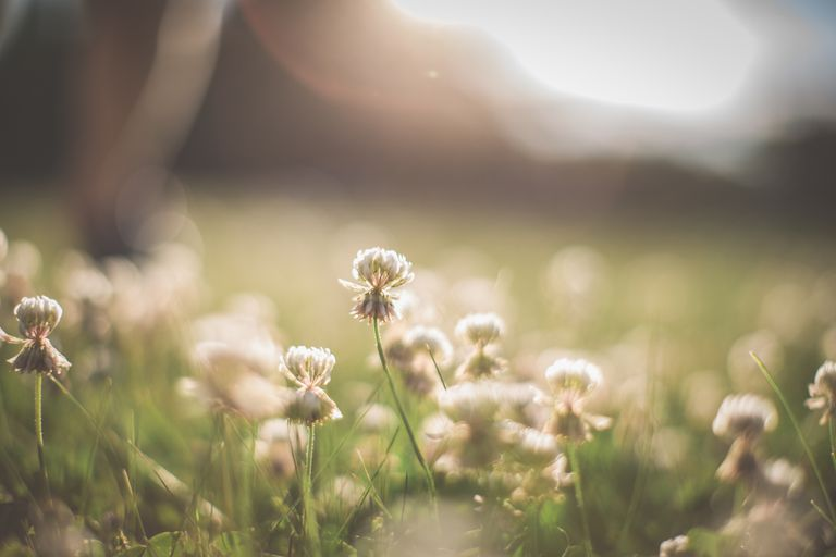 Sun shines on a field of clover flowers
