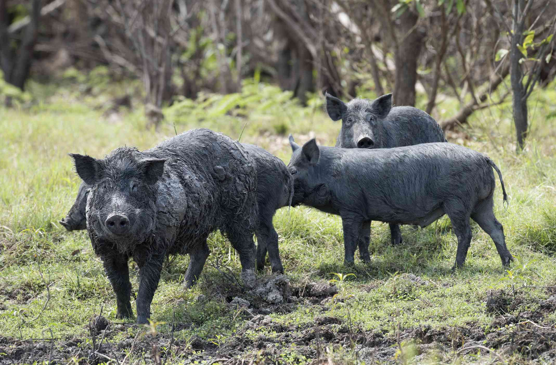 Four black wild pigs standing in a field of grass