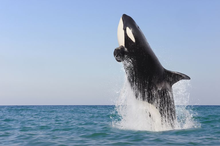 large orca killer whale jumps high out of water on bright day