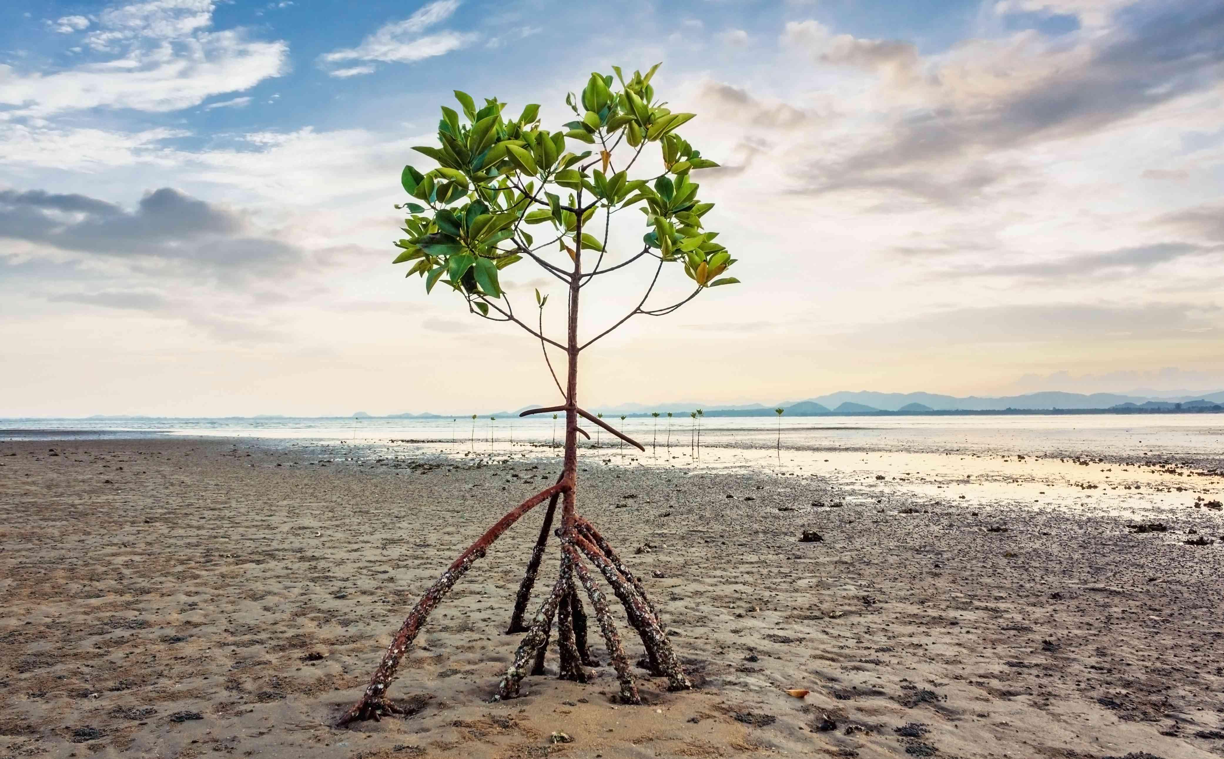 mangrove tree on a beach in Thailand