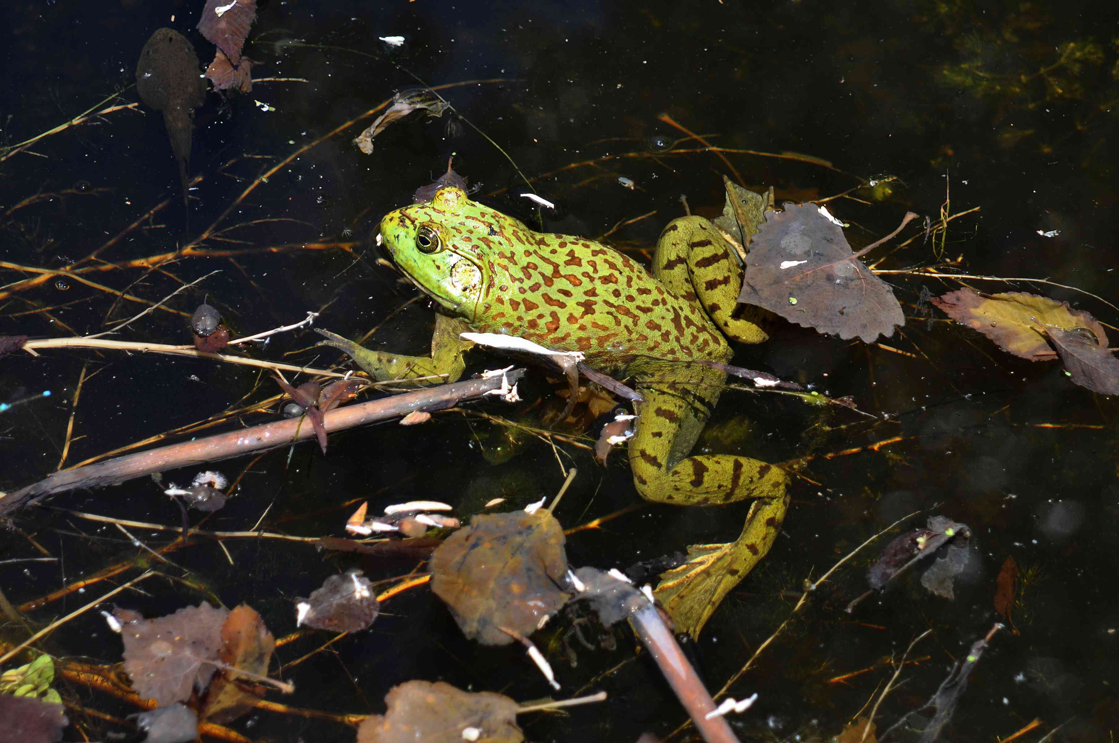 green frog with brown leopard spots swims in pond