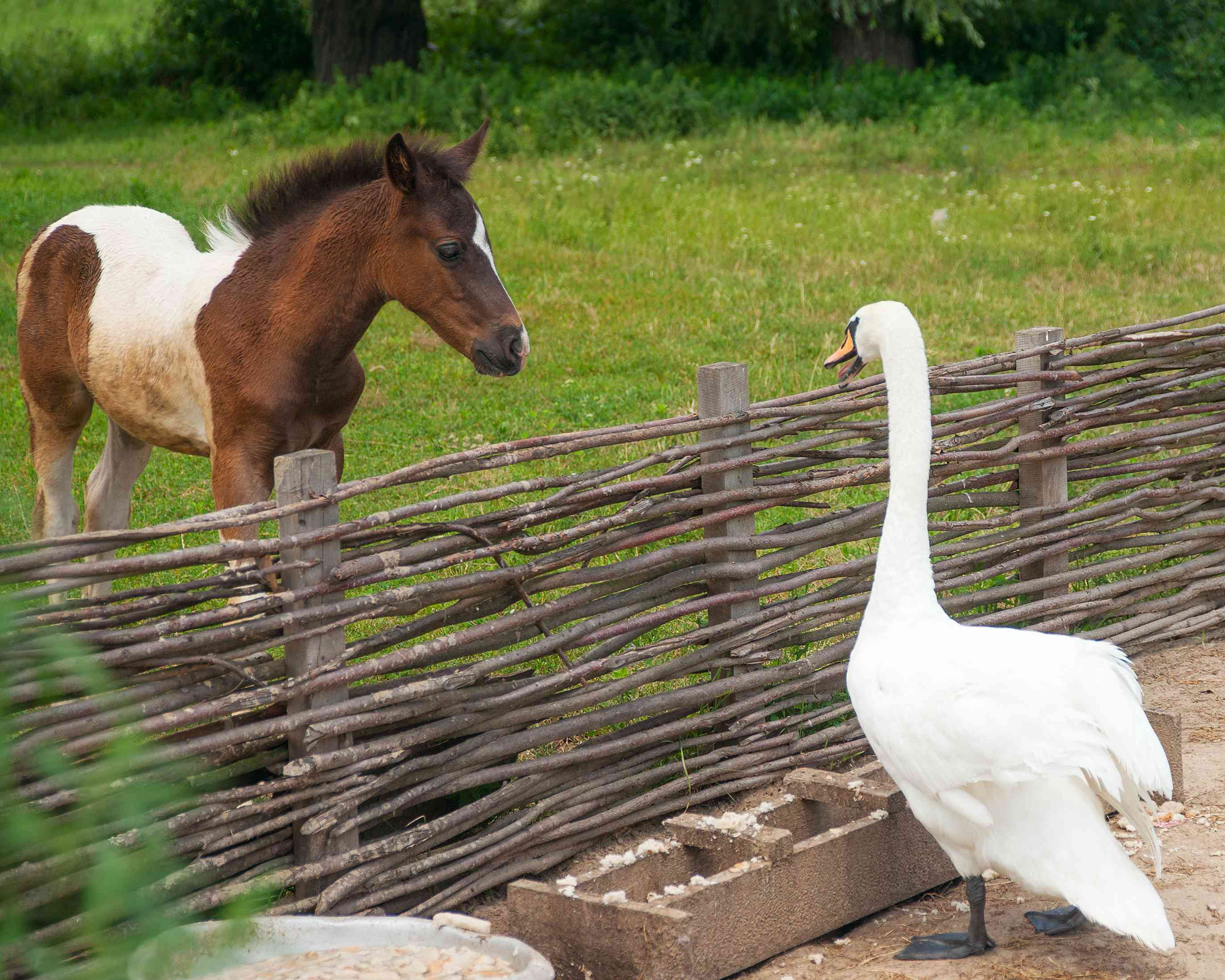 Goose and pony looking over a fence.
