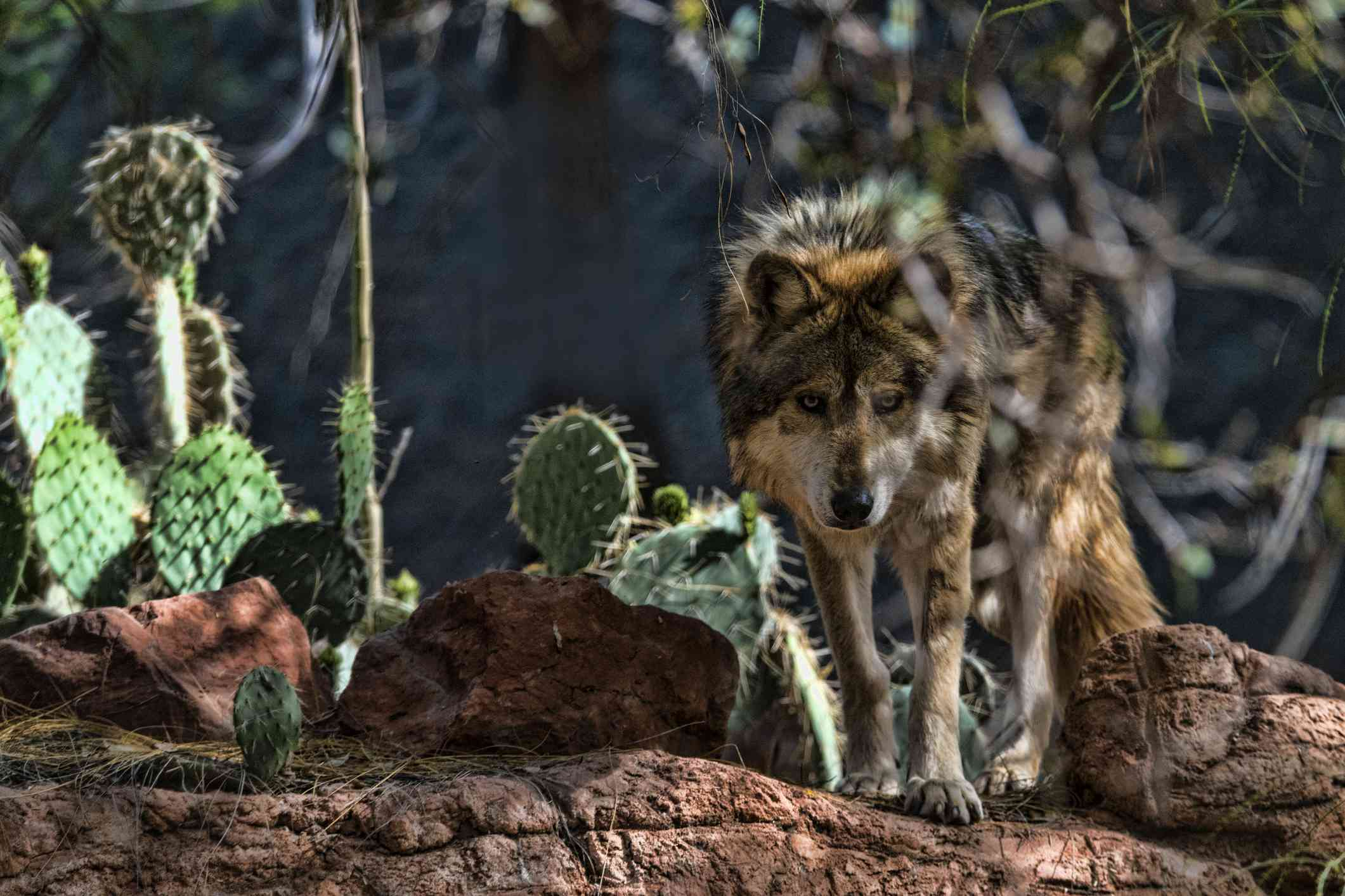 The Mexican wolf is a critically endangered subspecies of gray wolf.