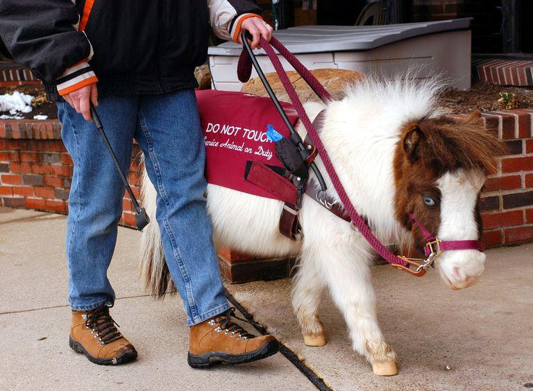 A miniature horse as a service animal