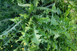 dandelion greens grow wild in yard outside