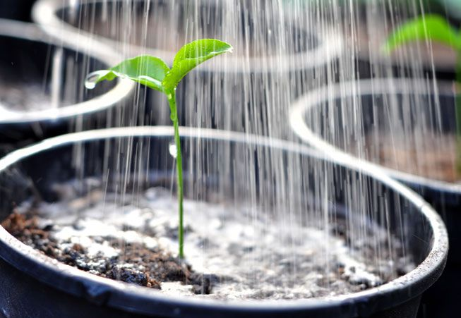 Water poured on a sapling
