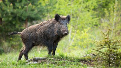 Dominant wild boar