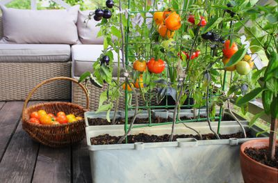 Bright orange tomatoes growing on a trellis in a container garden
