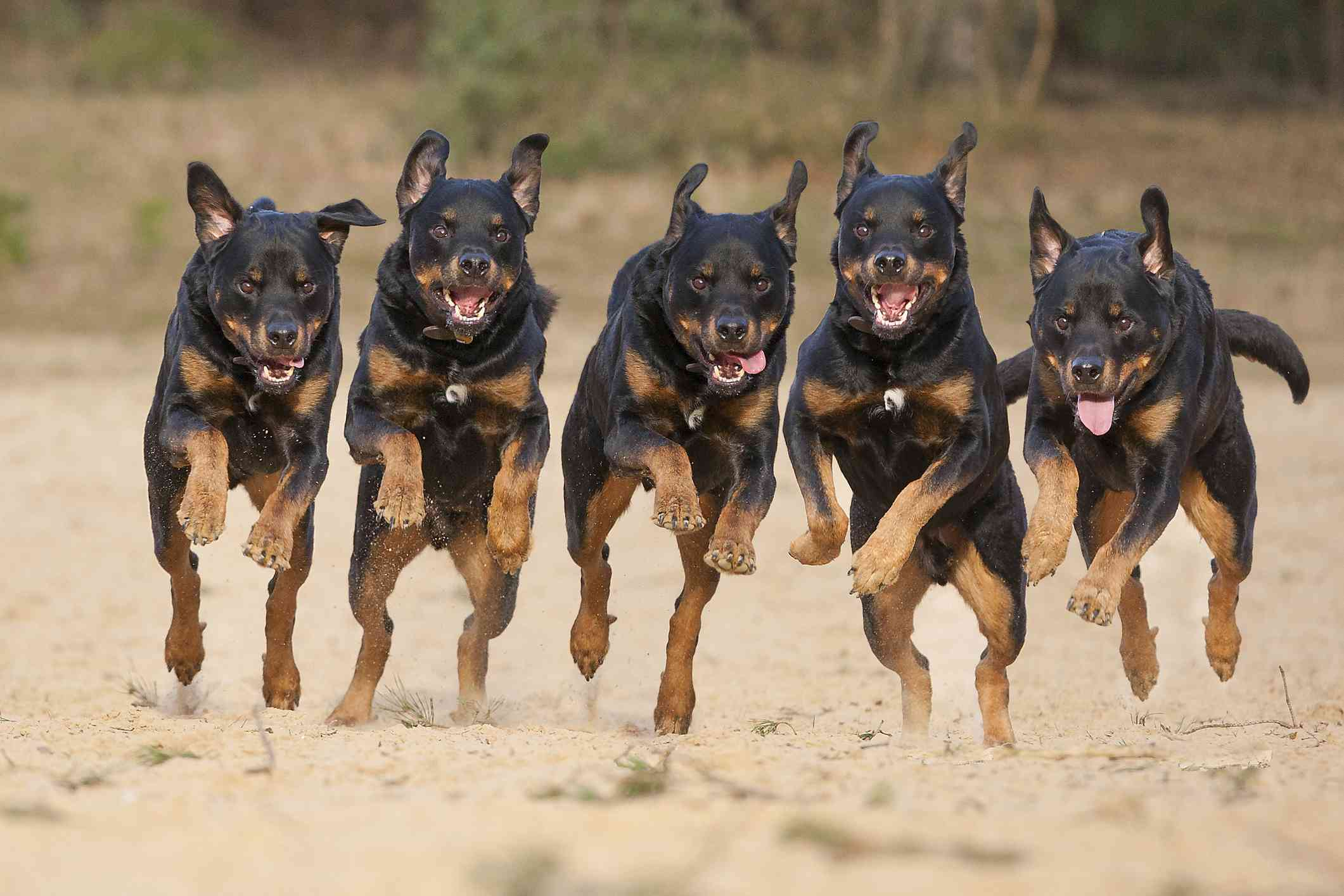 five rottweilers in a row running on beach with mouths open