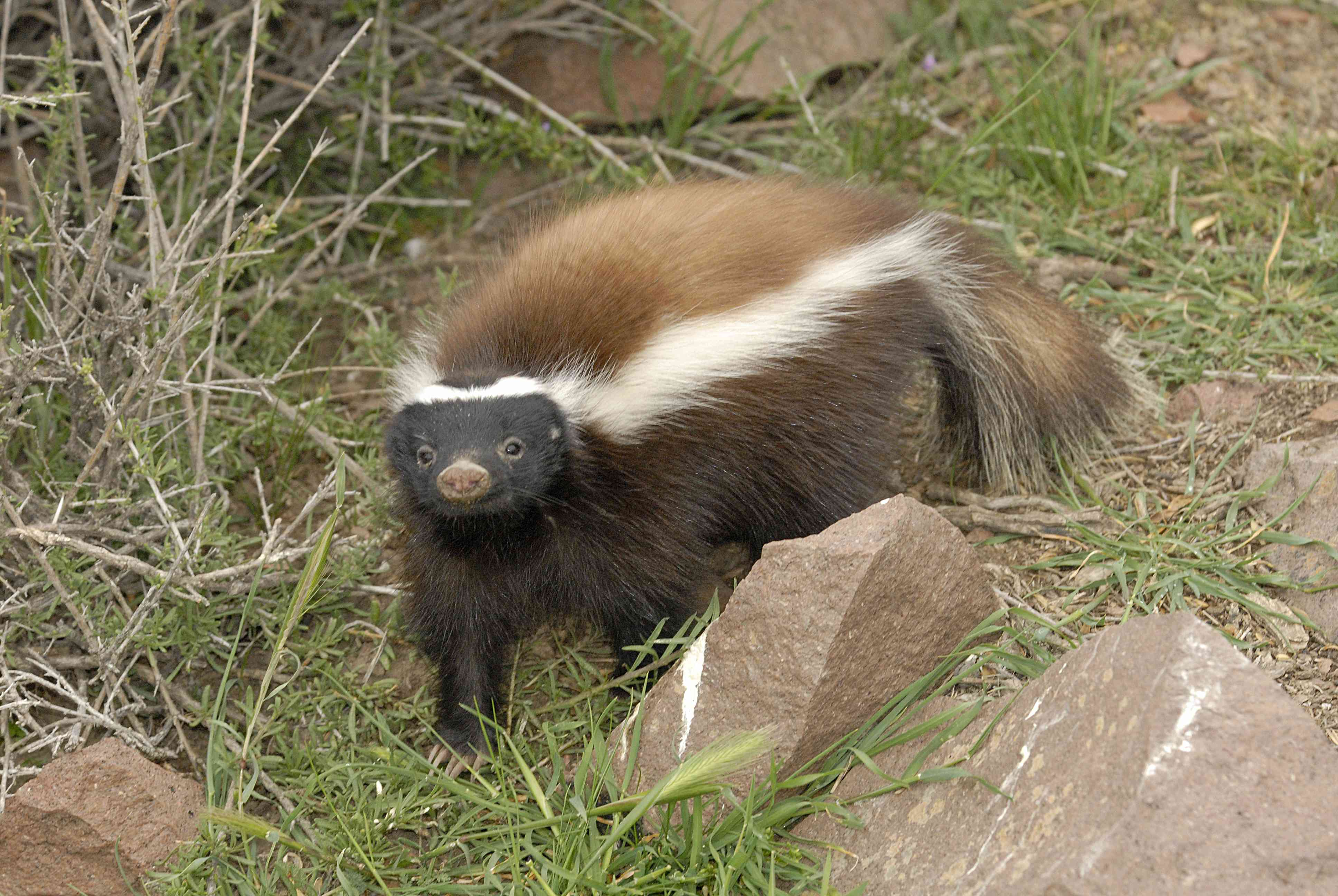 Humboldt's hog-nosed skunk standing in the grass in Patagonia