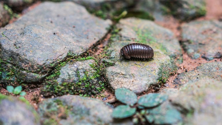 A brown pill bug walking on a flat rock