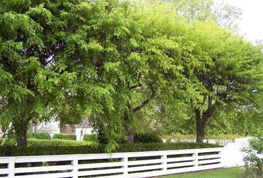 ironwood, Carpinus caroliniana