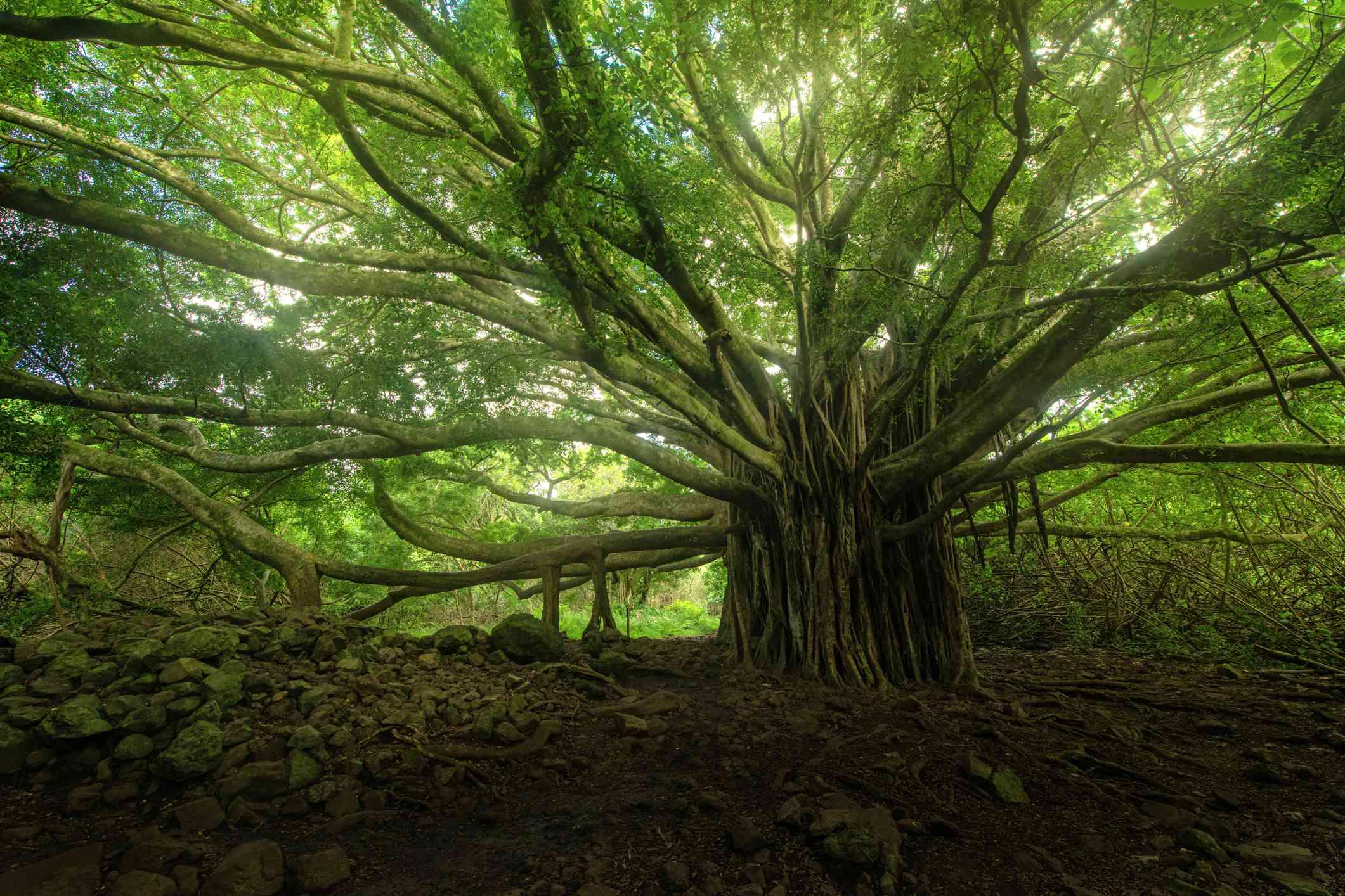 Banyan tree forest near Hana, Maui, Hawaii