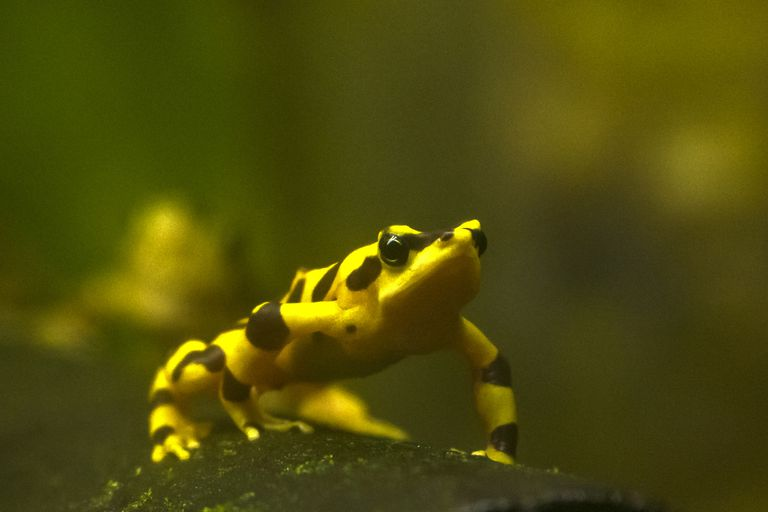 Variable Harlequin Frog yelllow with black streaks on mossy log