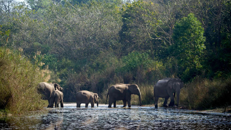 Elephants crossing a stream in the Terai Arc Landscape
